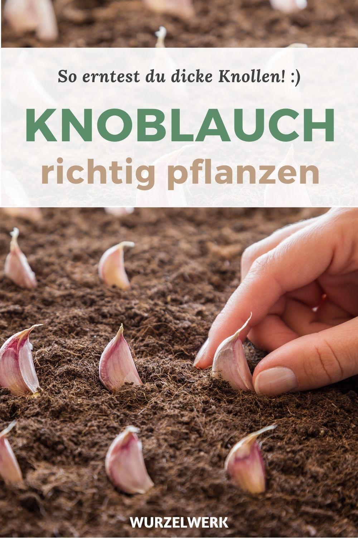Knoblauch pflanzen, anbauen, ernten und lagern – Wurzelwerk