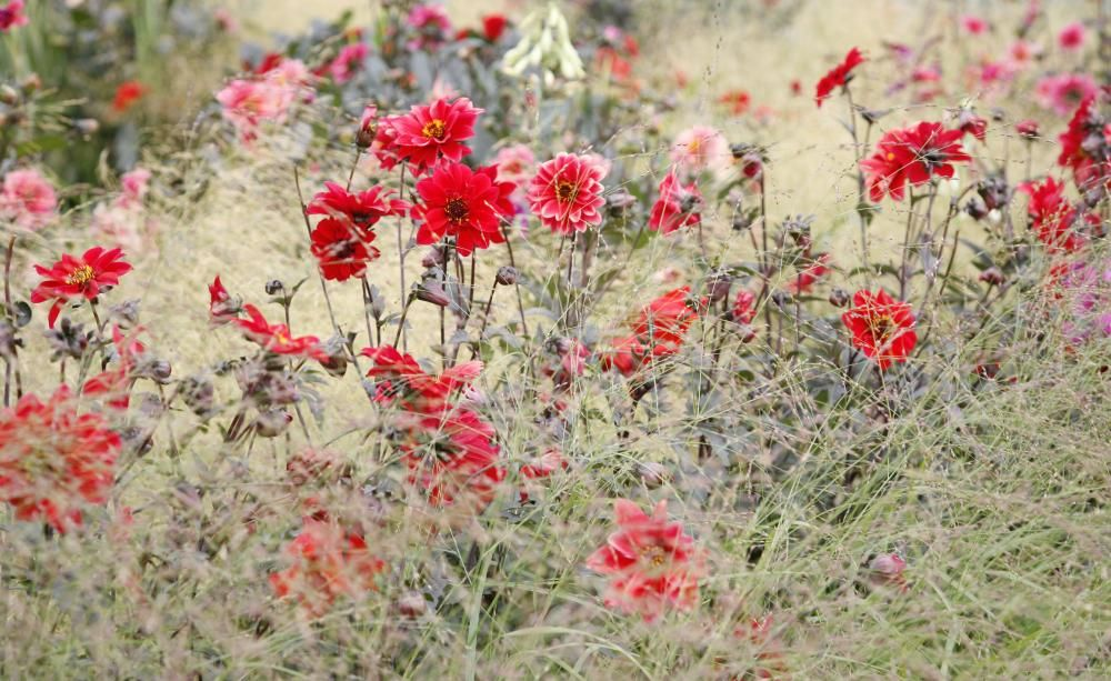 Dahlien: Tipps Für Schöne Beetkombinationen Dahlien Tipps Pflanzen Pflegen