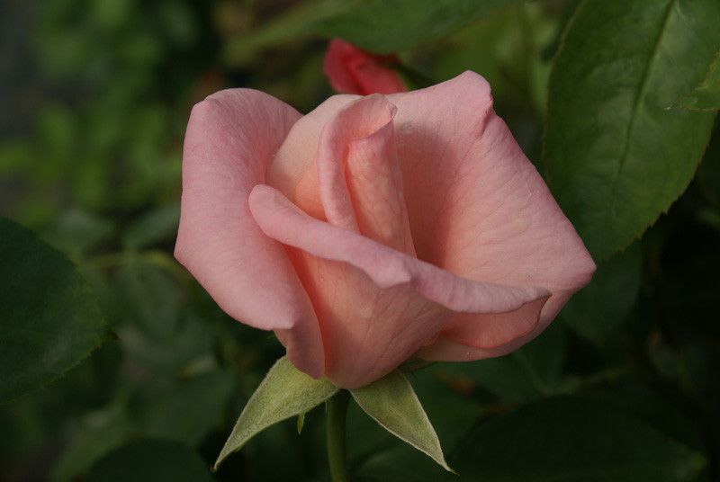 High Hopes - Ludwigs Roses   Medium-sized, pointed blooms. Soft shell-pink. Rugged, glossy foliage. Ideal to cover trellises, pergolas and fences without being too rampant. It has proved itself to be one of the most rewarding climbers in South Africa.