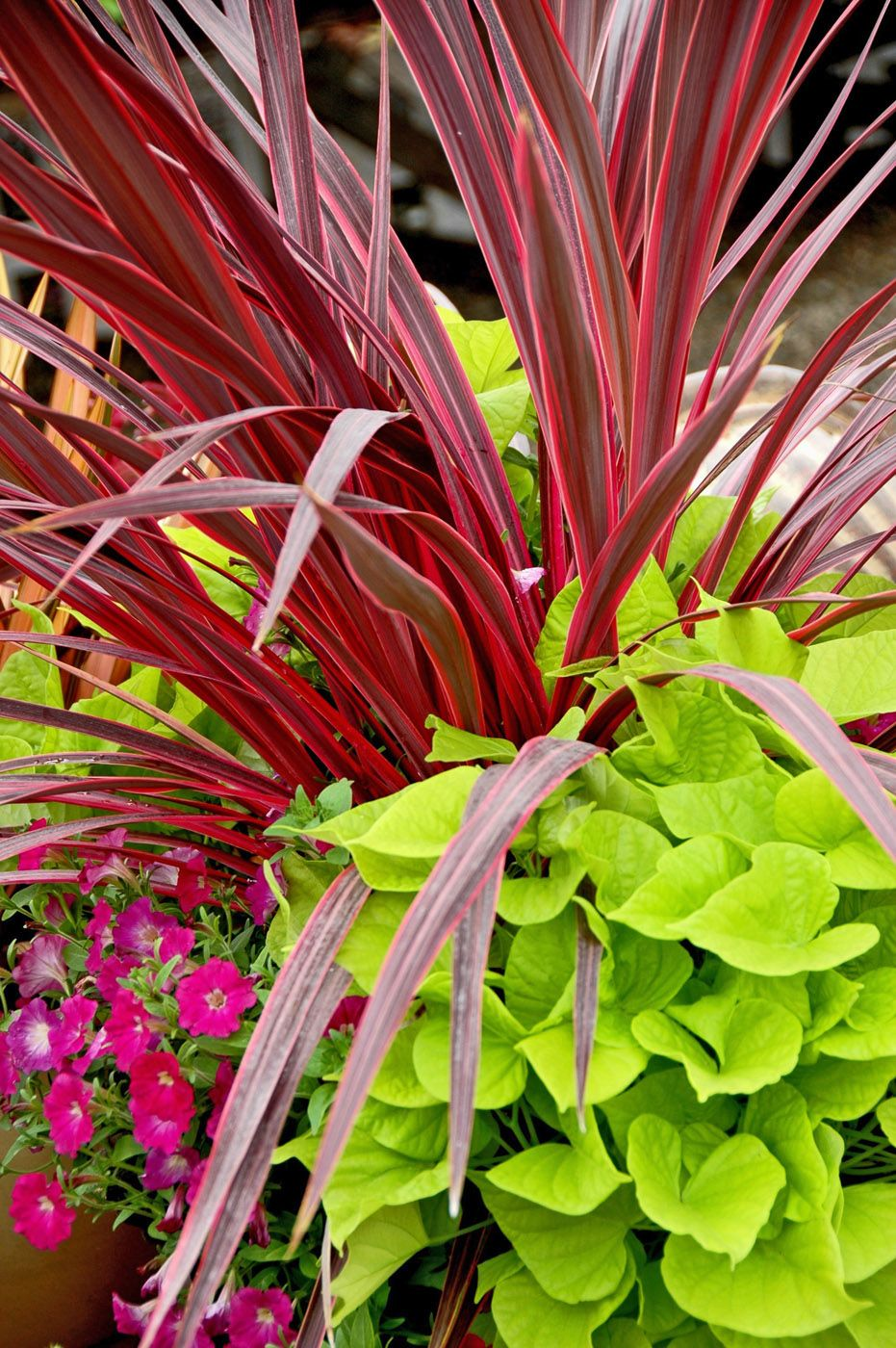 Cordylines Dagger Like Look Soars In Popularity Front Yard Plants Garden Containers Flower Pots