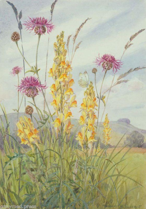 Margaret Tarrant Yellow Toadflax Medici Print