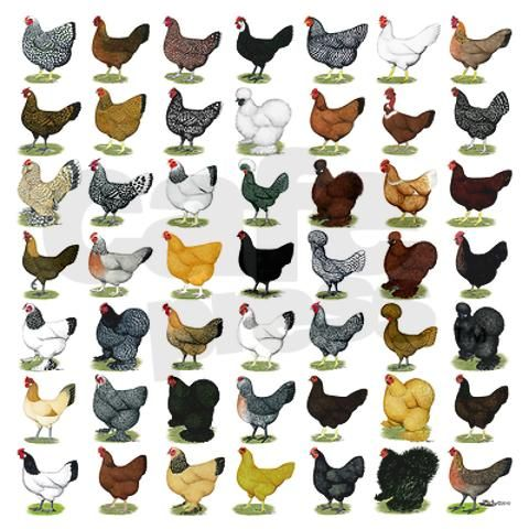 chicken breed chart: Chicken breeds chart chicken breeds chart 49 hen breeds boxer
