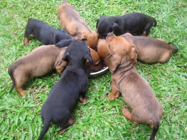 Dachshund Puppies Admiral Village Dachshunds Doxie Darlin