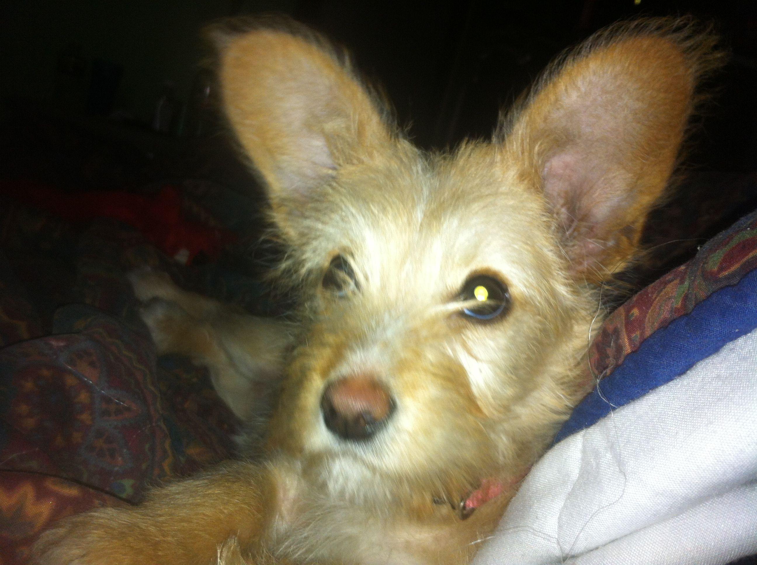 Shih Tzu Wire Haired Fox Terrier Mix Puppy Fox Terrier Terrier