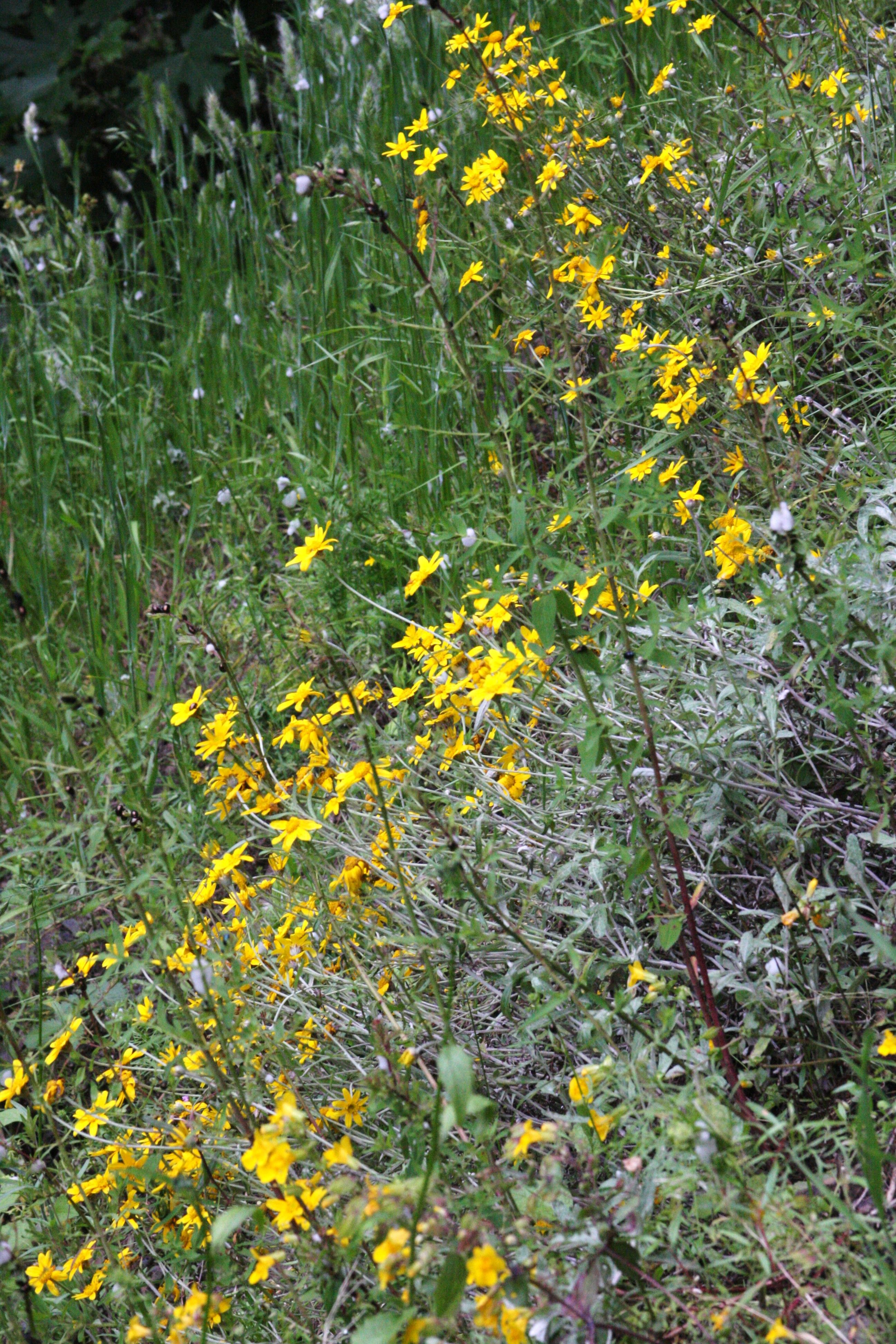 Either a coreopsis or a wild sunflower. Eagle Creek Trail ...