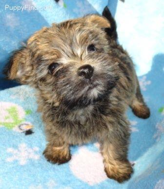 Cairn Terrier Puppy Cairn Terrier Puppies Pitbull Terrier