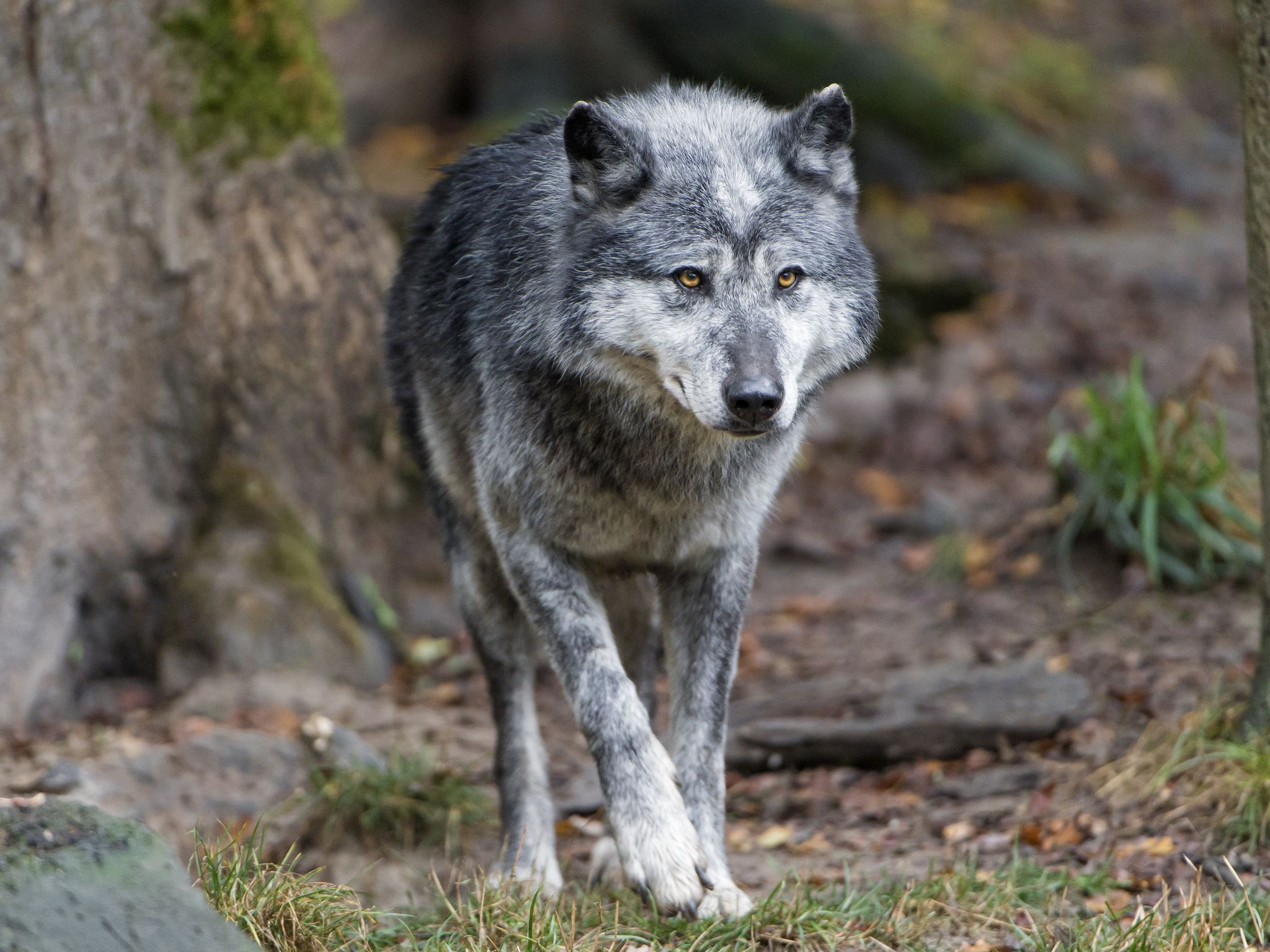 Timberwolf Walking Grey Wolf Baby Dogs Animal Facts
