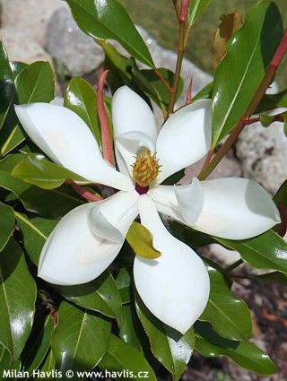 Magnolia Grandiflora Kay Parris Ker 2 4m Stalezeleny Cerven Srpen Hardy Up To 6 Magnolia Flowering Trees Large Flowers