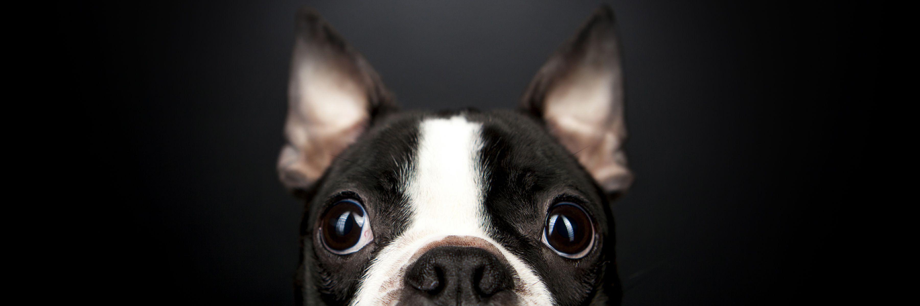Pet Dog Portrait Photography Dog Portrait Photography Pet