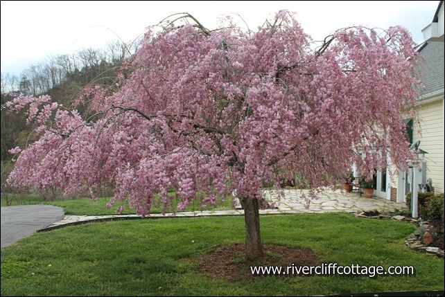 Cherry Blossom Trees Lowes Weeping Cherry Tree Cherry Blossom Tree Growing Tree