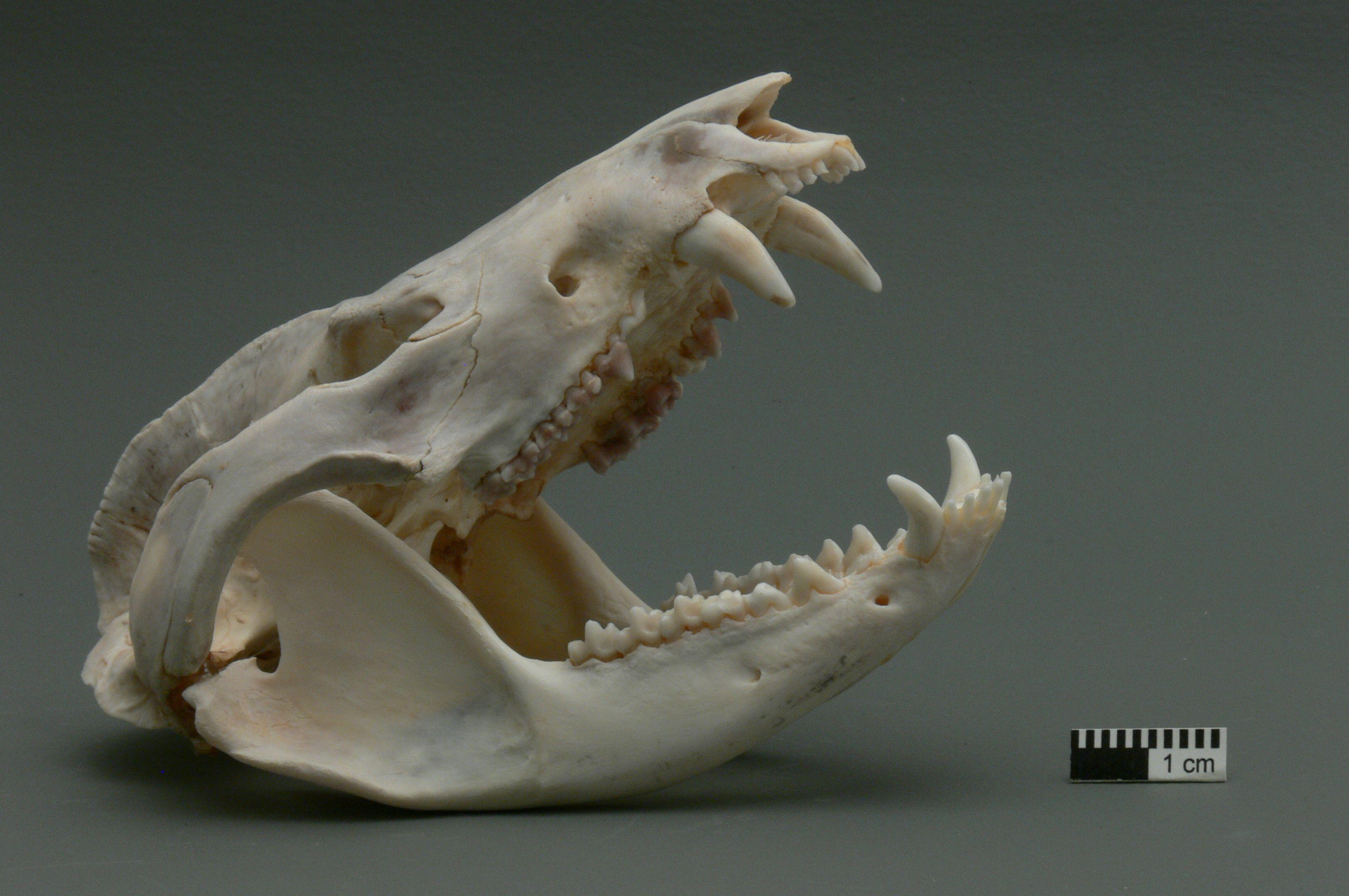 Skulls and Teeth | Stranger Things in 2019 | Possum skull ...