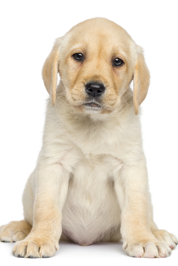 Labrador Puppy Sitting And Facing