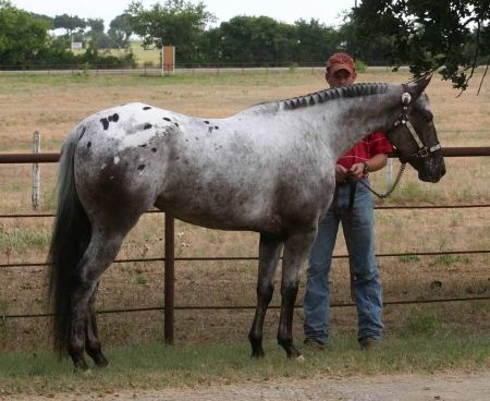 Catori, Appaloosa Mare in Texas | Appaloosa Horses for Sale