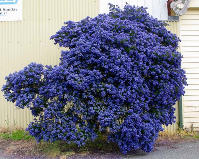 Ceanothus hedge idea ceanothus concha an evergreen for Small evergreen flowering trees
