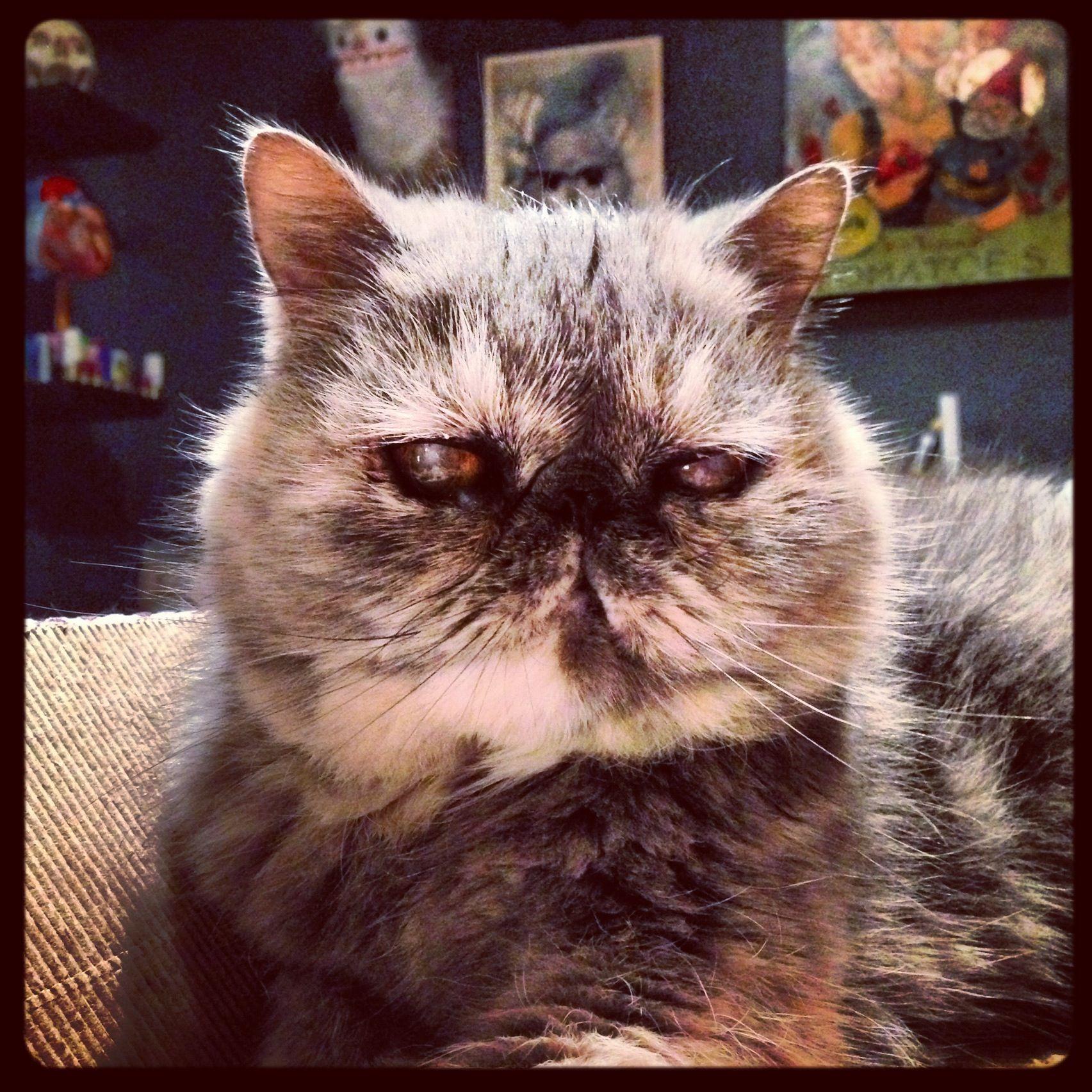 Blue cream exotic shorthair. An epic smushy cat.