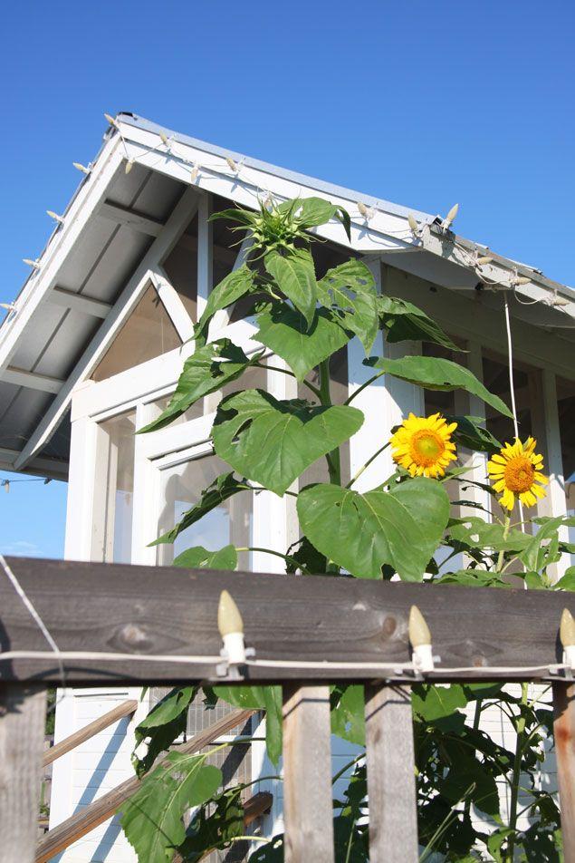 carlton-landing-chicken-coop-sunflowers