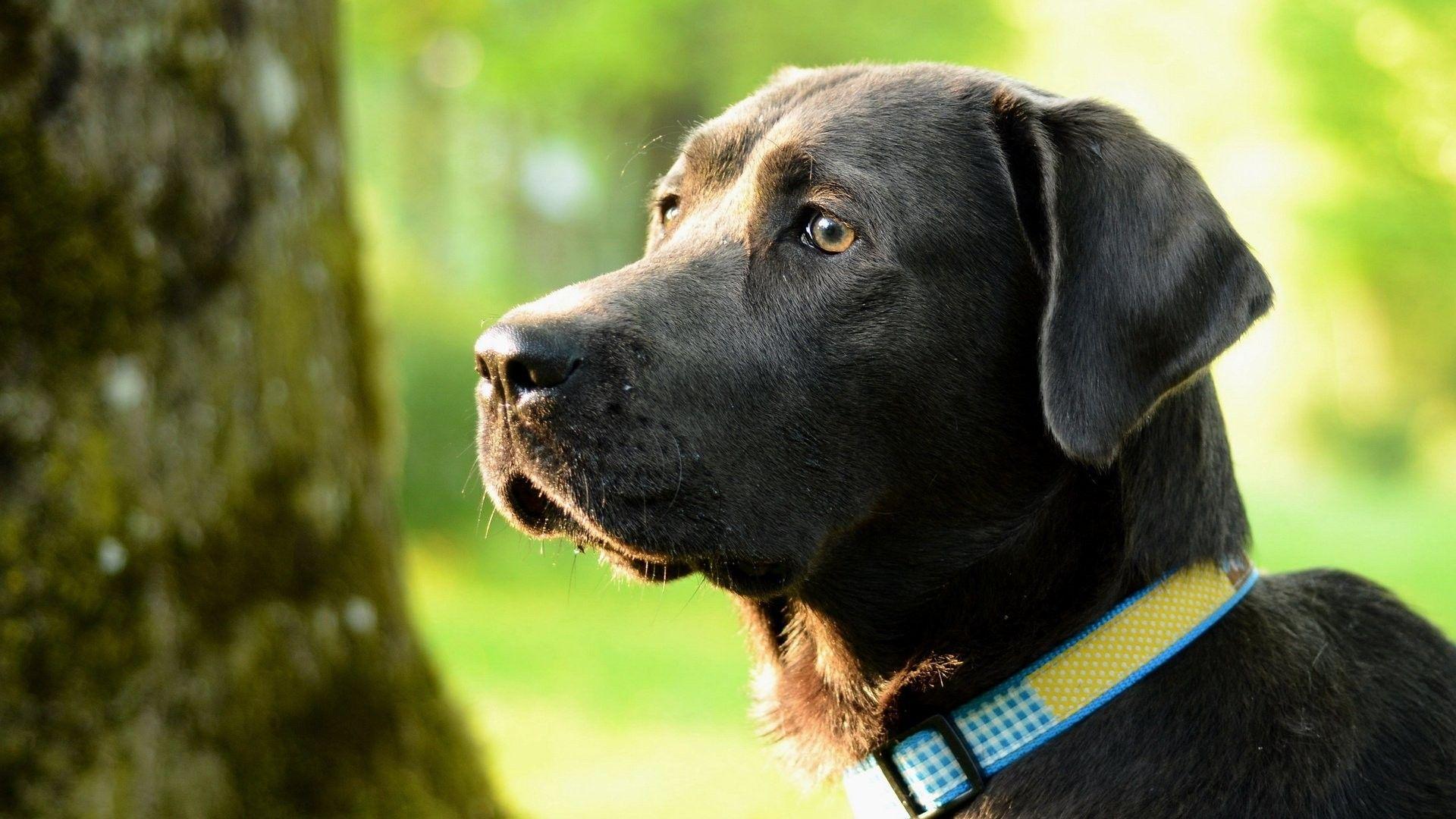 Stunning lab puppy love pinterest labs