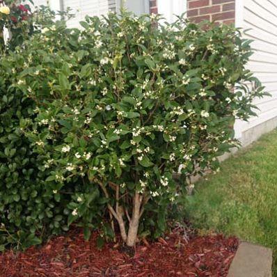 Tea Olive Bush Smells Soooooo Good Olive Trees Garden