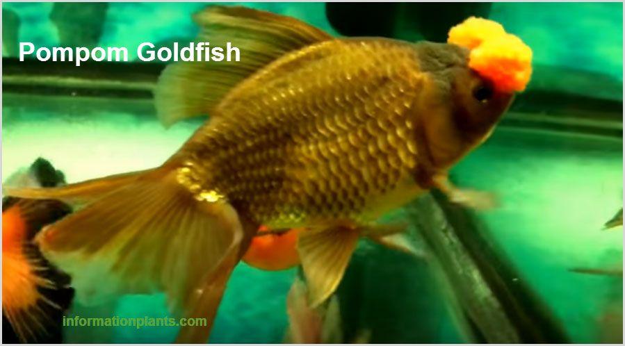 سمكة الزينة البومبون Pompom Goldfish سمك زينة انواع الاسماك معلومان عامه معلوماتية نبات حيوان اسماك فوائد Goldfish Fish Pet Fish