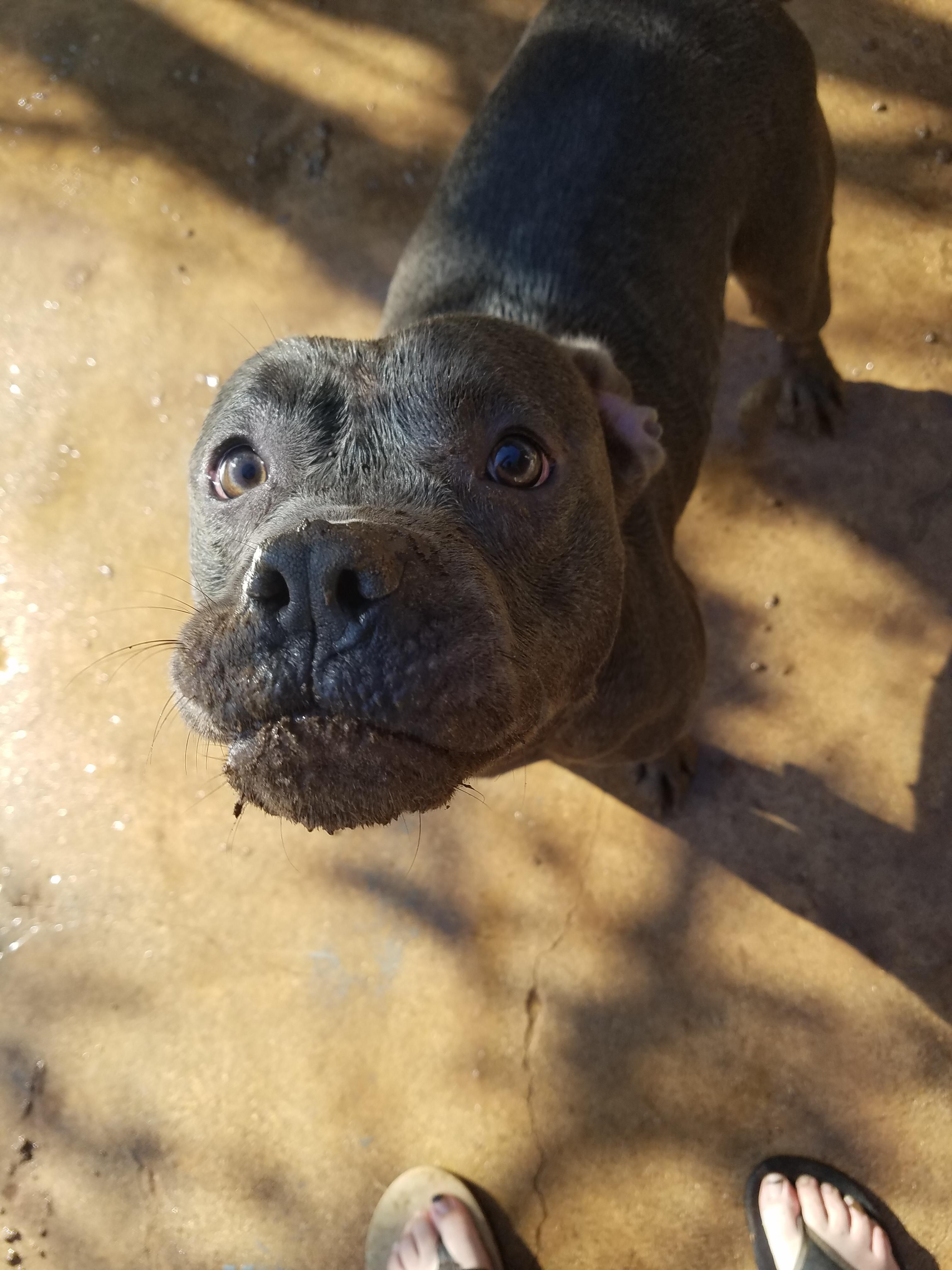 Lubbock Tx Doofy Is An Adoptable Dog Pit Bull Terrier