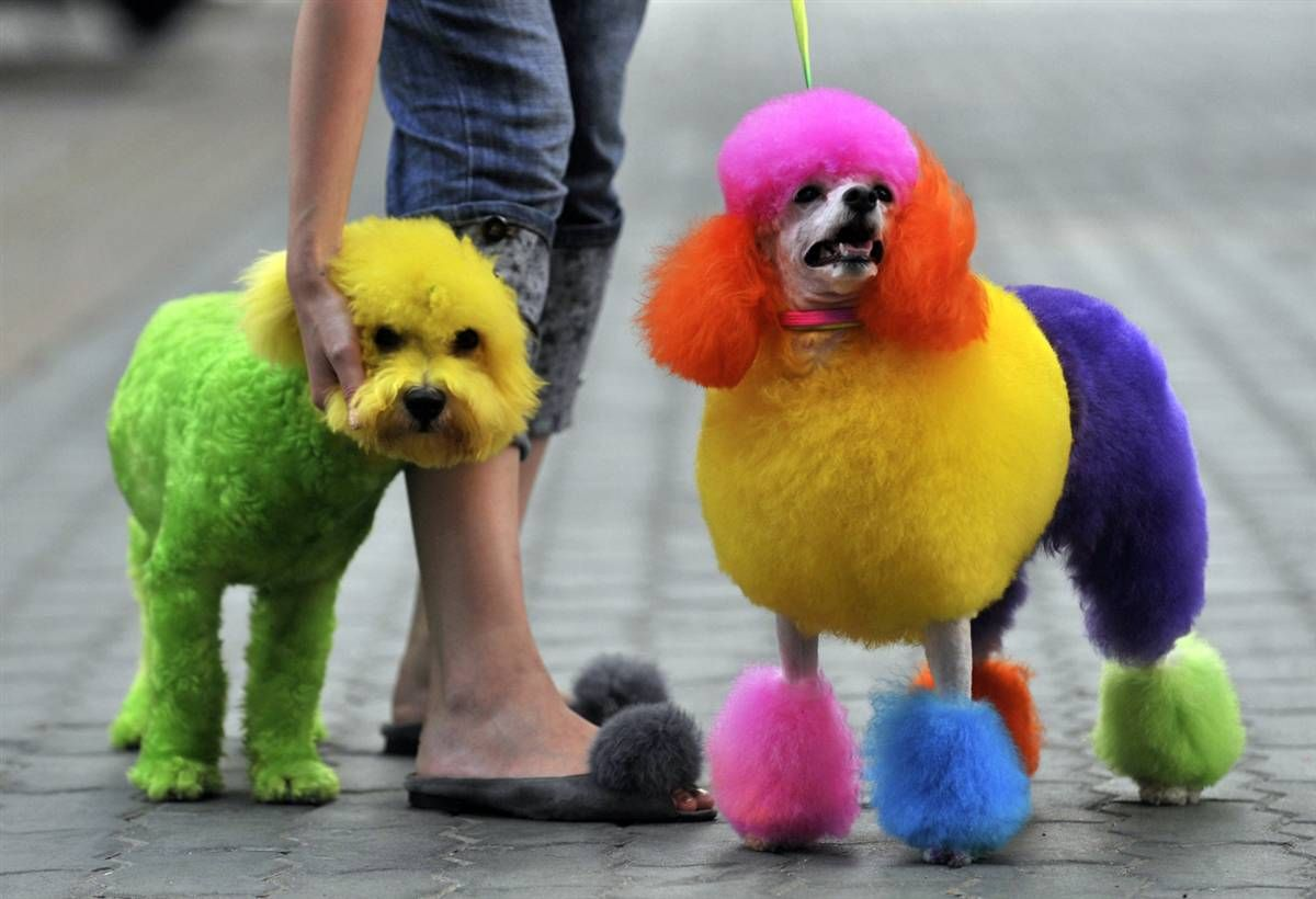 How To Dye A Dog S Hair At Home Using Kool Aid Dog Dye Rainbow Dog Colorful Dog