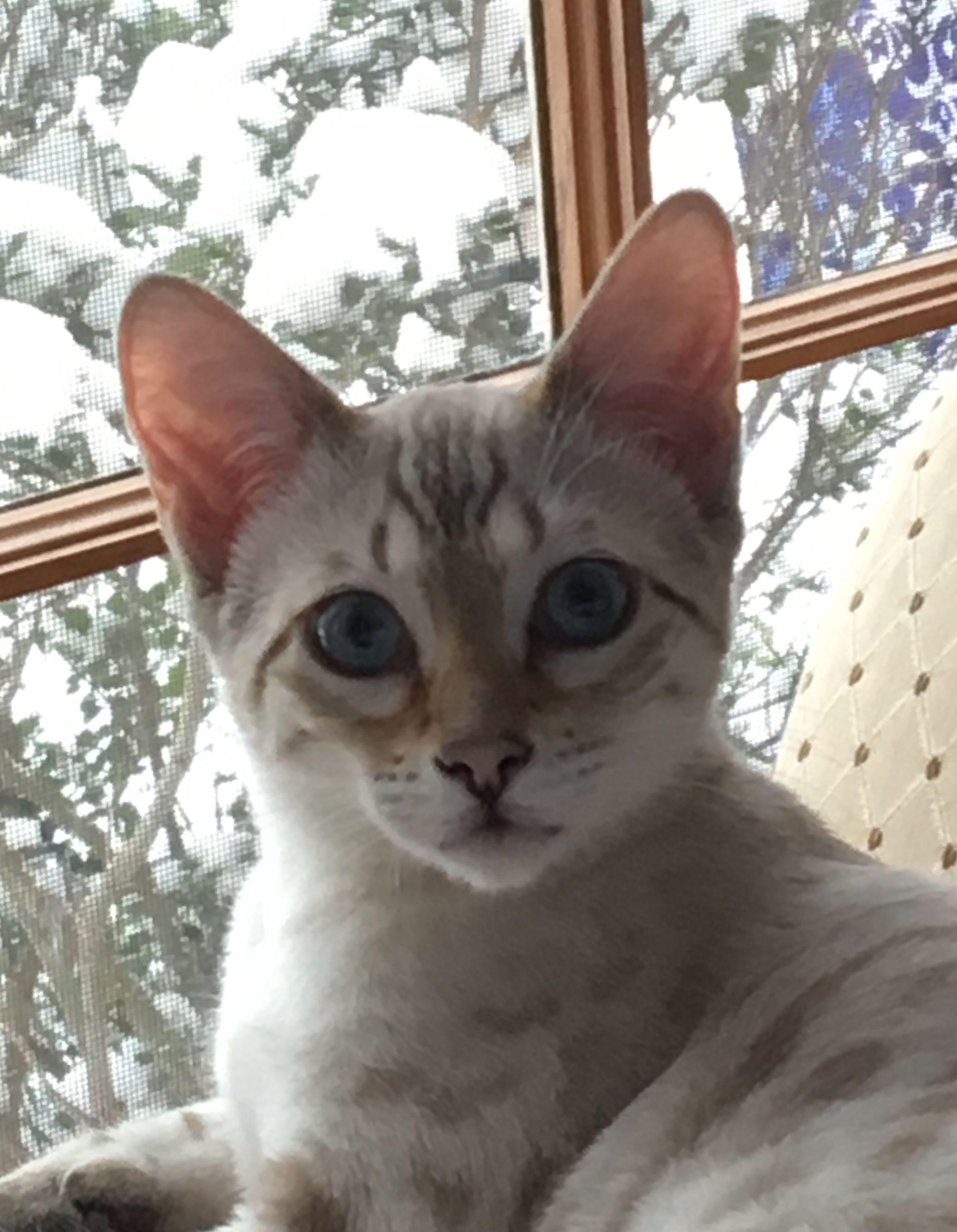 Marina Snow Lynx Bengal Pedigree Cats Bengal Cat Cats And Kittens