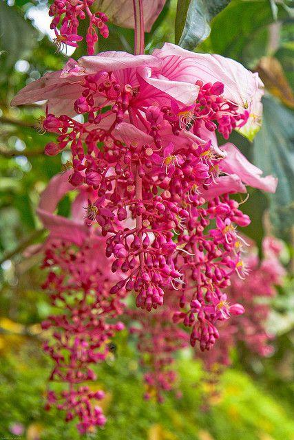 Medinilla Magnifica Aka Chandelier Tree Beautiful Flowers Unusual Flowers Amazing Flowers