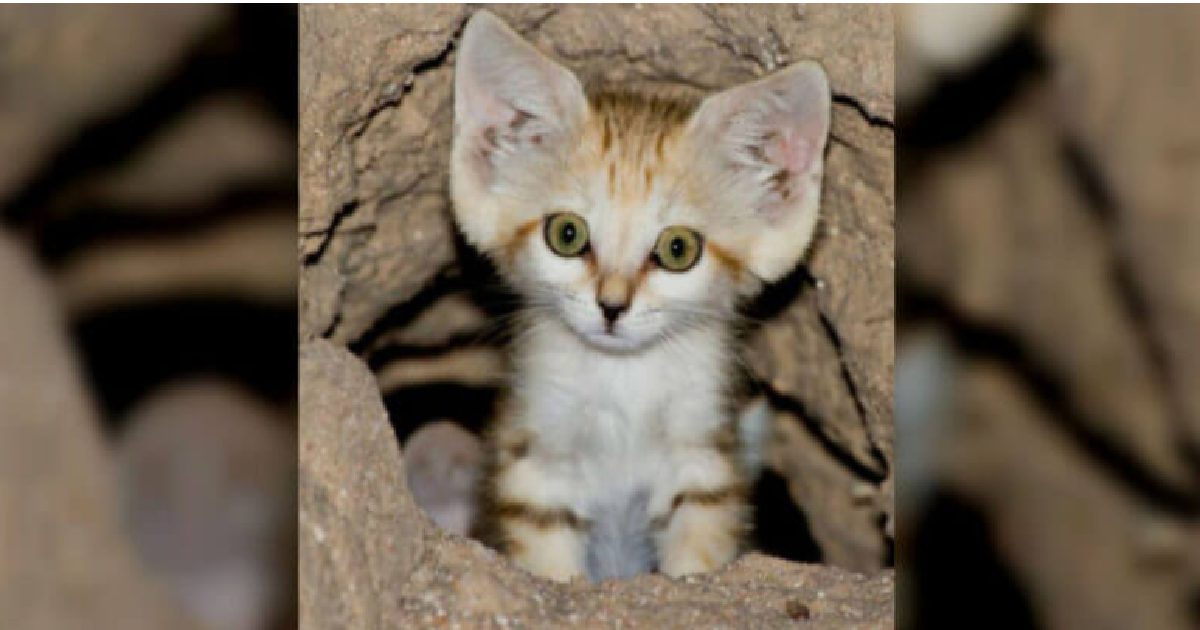 Elusive Sand Cat Is Captured On Camera For The First Time
