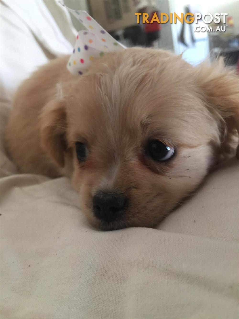 Shihtzu Maltese Cavalier Greyhound Puppy Beagle Puppy Bulldog Puppies