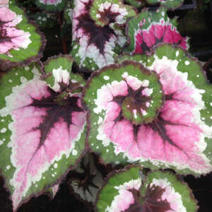 Begonia Julau Extremely Rare In 2020 Begonia Orchid Care Pink Plant