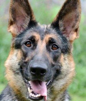 Misha German Shepherd Rescue Of New England Http Gsrne Org Dog