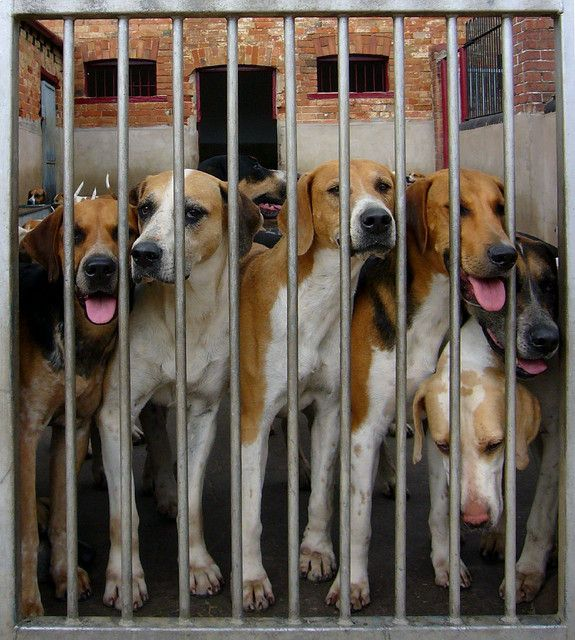 Foxhounds The Fox And The Hound Beagle Most Popular Dog Breeds