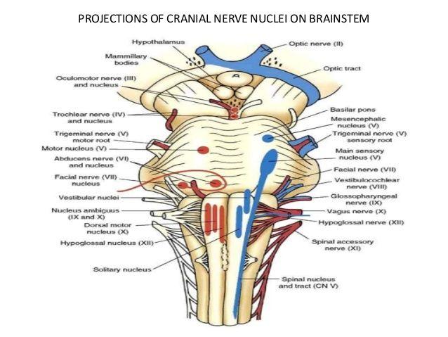 Oculomotor nerve brainstem