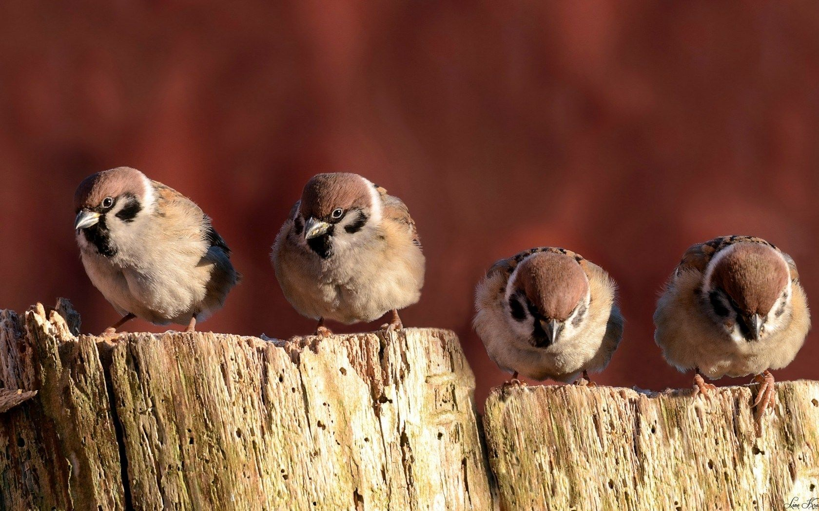 Four Sparrows Birds Close Up Dry Tree Stump HD Wallpaper