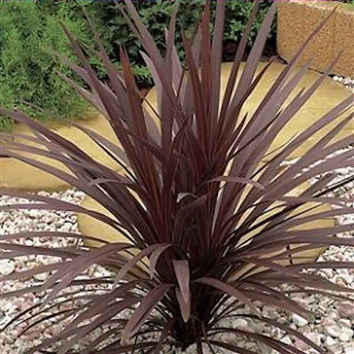 cordyline australis atropurpurea jeune plante en godet. Black Bedroom Furniture Sets. Home Design Ideas
