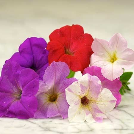 Petunia Dwarf Bedding Mix Planet Natural Petunia Flower Petunias Flower Seeds