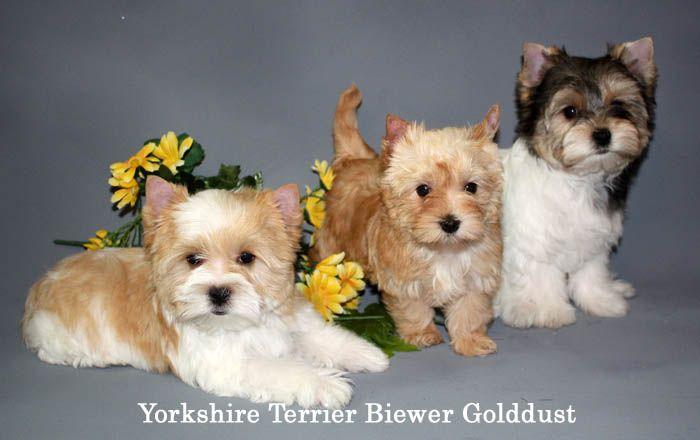 Exquisite Biewer Golddust Yorkshire Terrier Puppies Yorkshire Terrier Puppies Terrier Puppies Yorkshire Terrier Dog