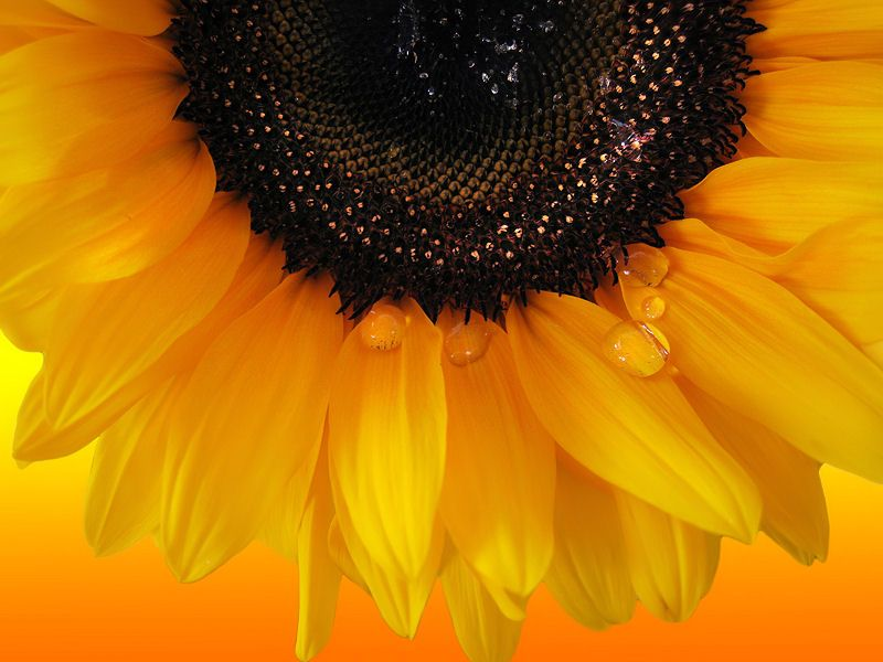sunflower with dew drops