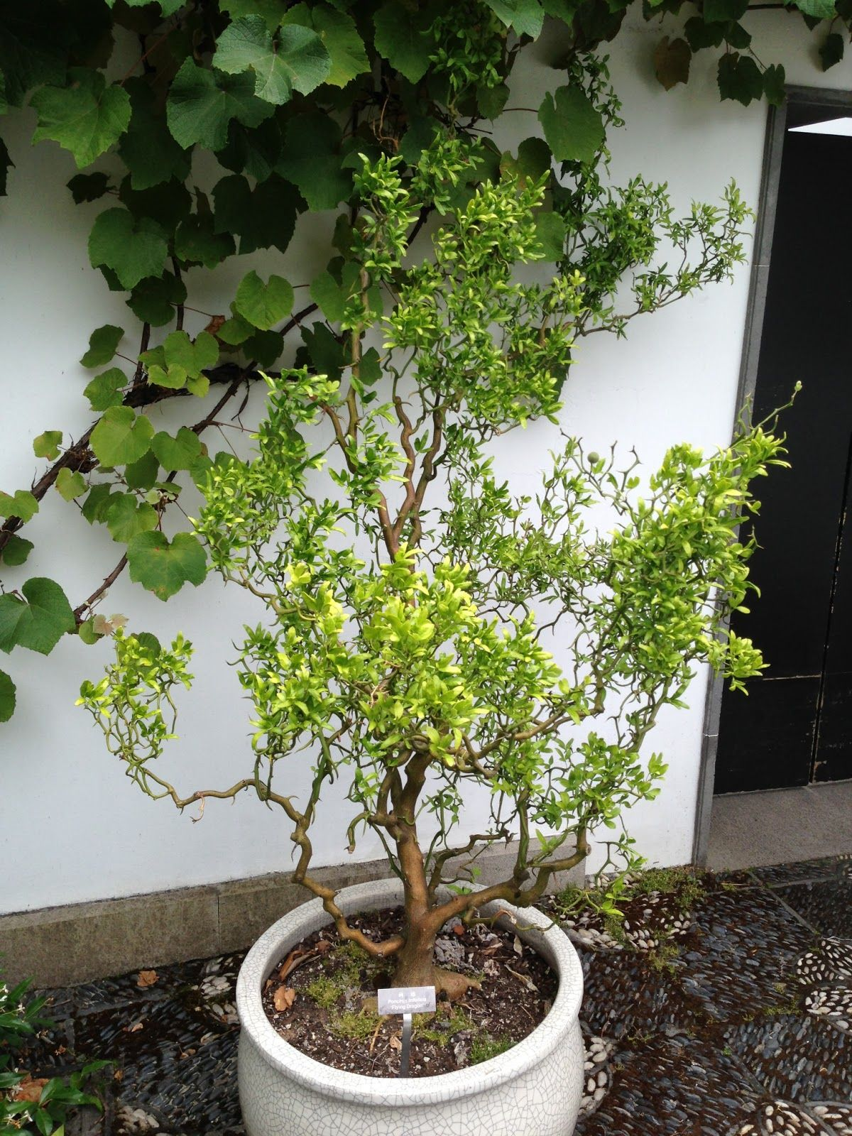 Garden Ideas Potted Poncirus Trifoliata Flying Dragon (Chinese Bitter