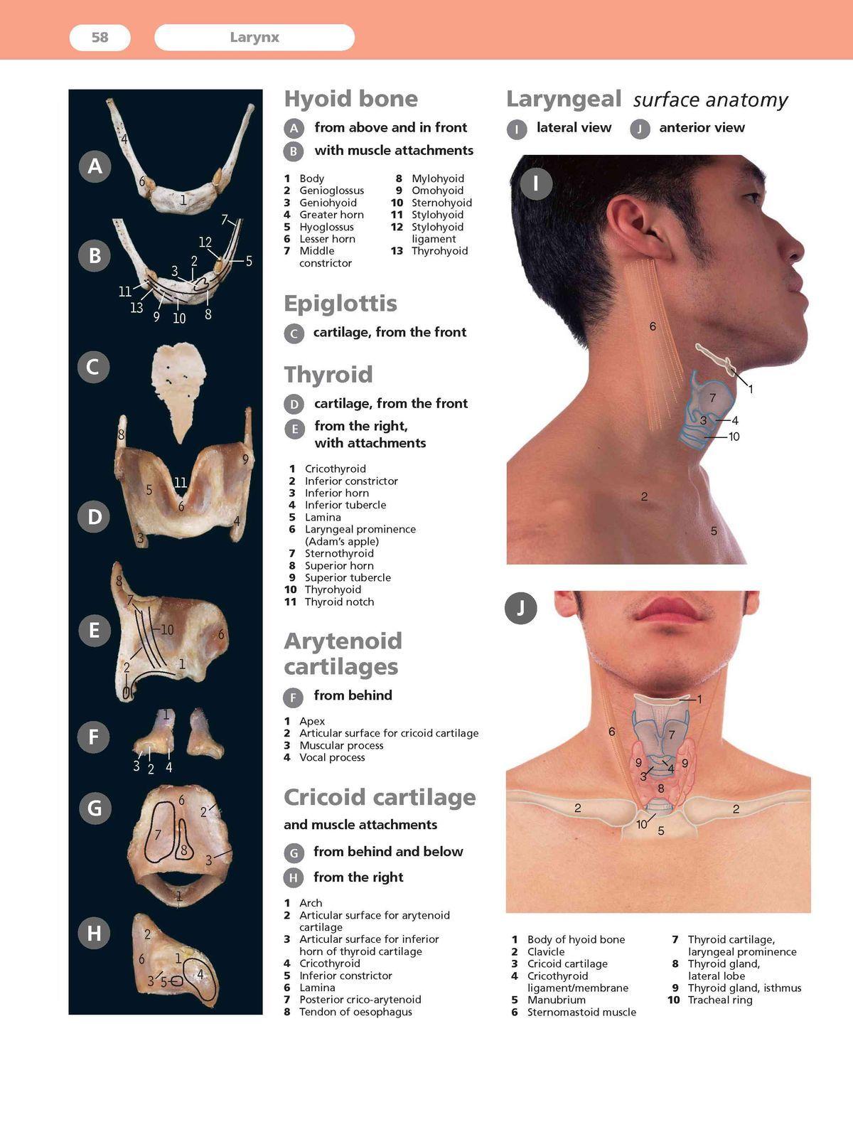 Anatomía de la laringe. | salud | Pinterest | Anatomía, Logopedia y ...