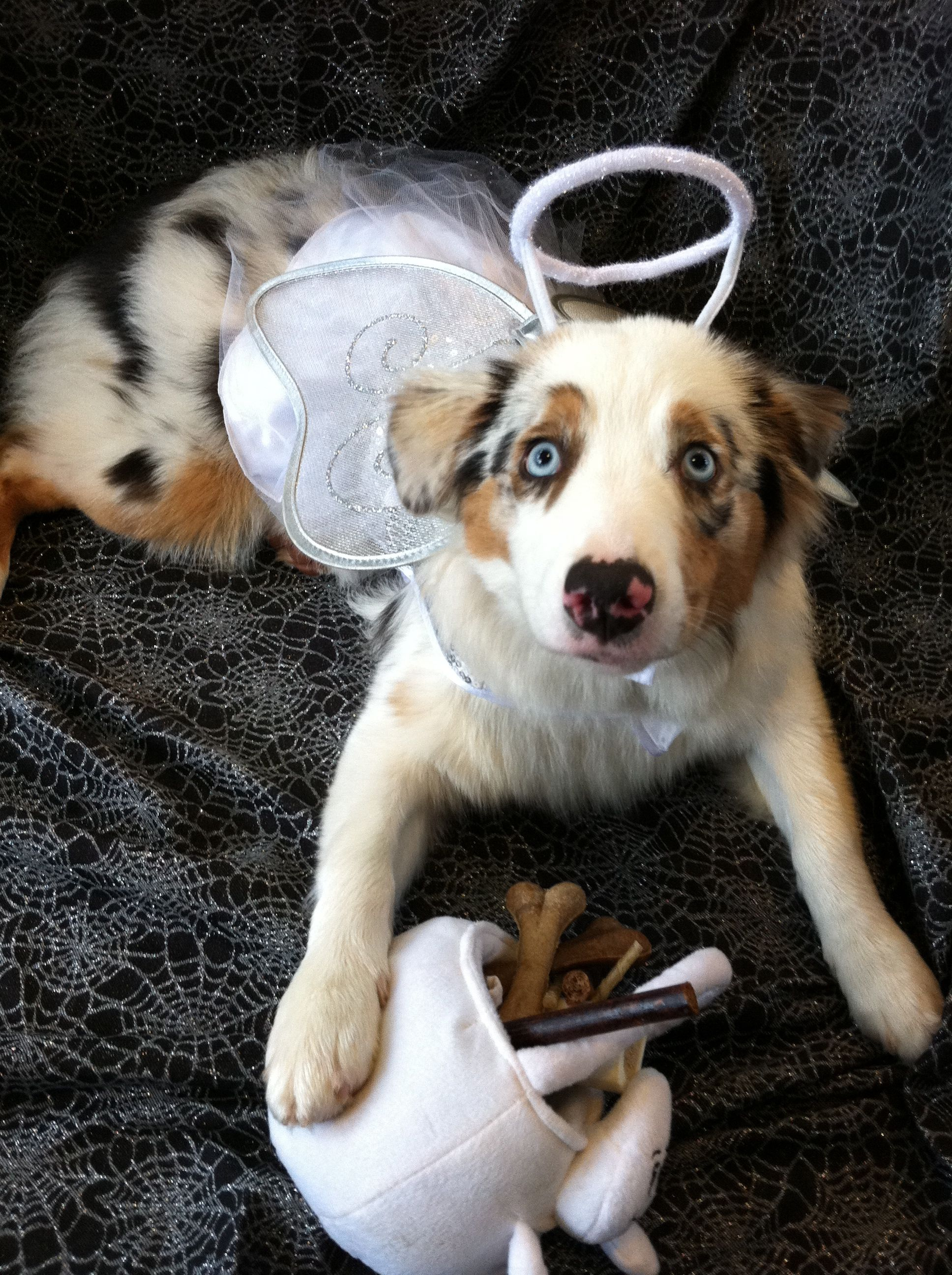 Cookie The Angel Eyed Aussie All Ready For Halloween As