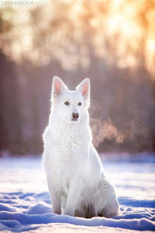 Weisser Schaferhund Im Schnee Sonniger Wintertag Winter Hund Schnee Sonne Weisserschaferhund Buddyandbello Bud Schaferhunde Schweizer Schaferhund Hunde