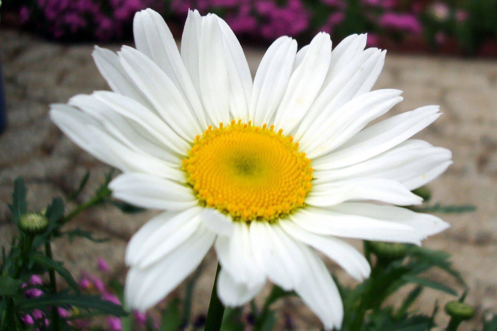 pictures of shasta daisies - Google Search