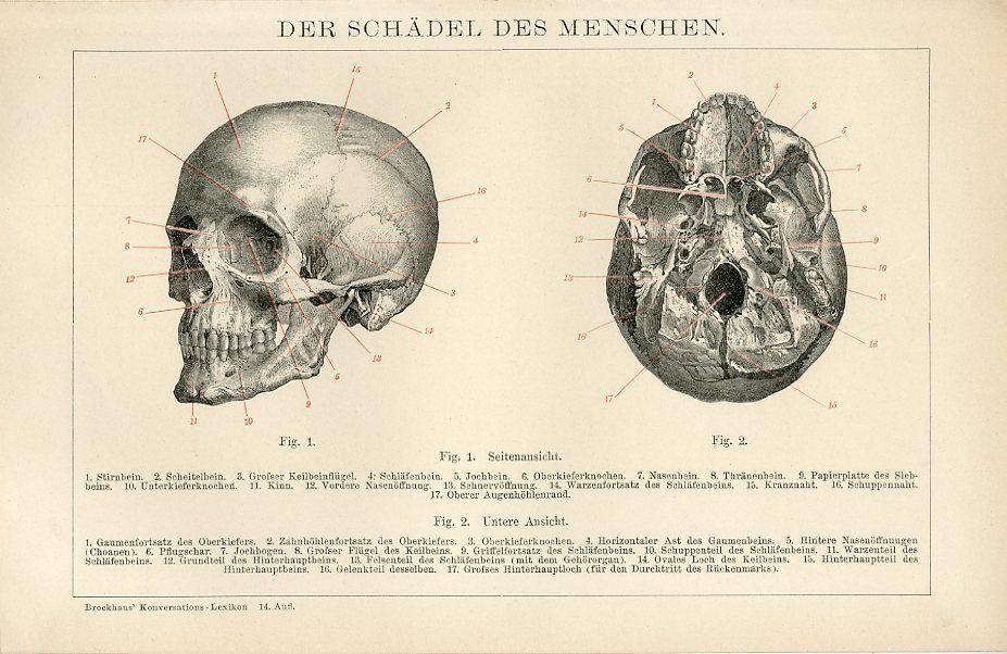 Wunderbar Schädel Anatomie Des Menschen Ideen - Anatomie Von ...