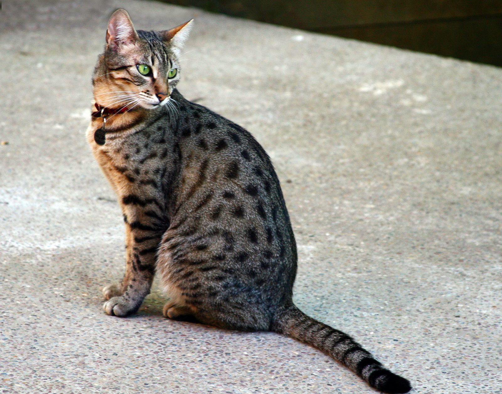 Egyptian Mau In 2020 Egyptian Mau Domestic Cat Rare Cat Breeds