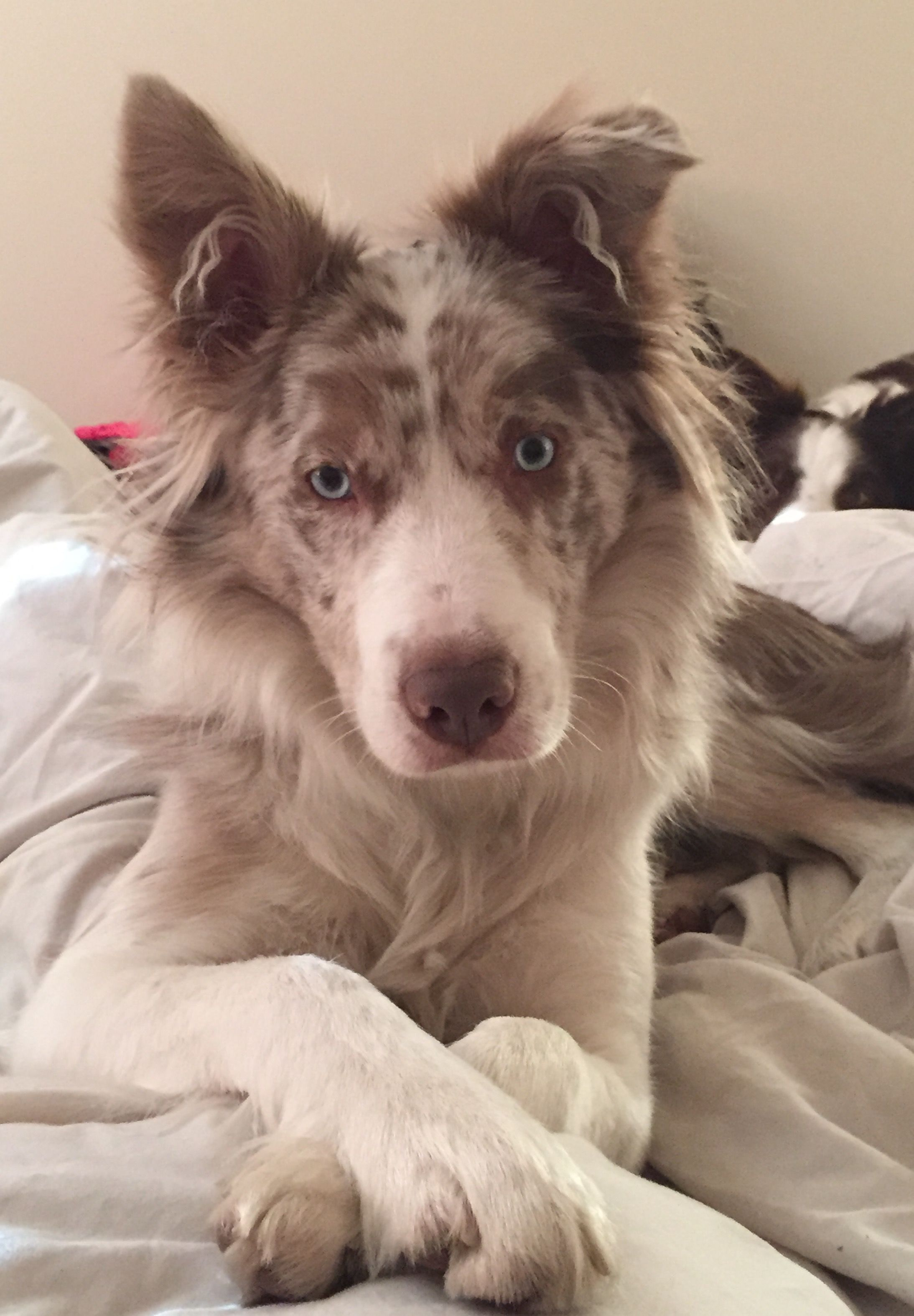 Lilac Merle Collie With Images Dogs Collie Dog Border Collie