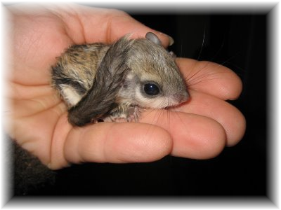 Janda Exotics Flying Squirrels As Pets Care And Information Baby Flying Squirrel Flying Squirrel Pet Cute Squirrel