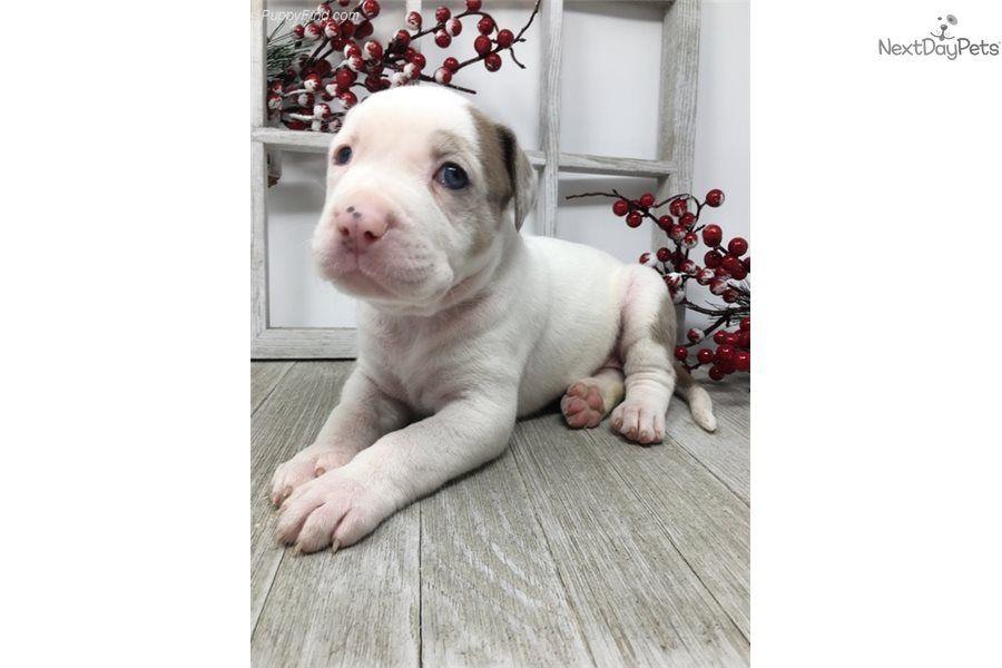 American Bulldog Puppy For Sale Near Sarasota Bradenton Florida