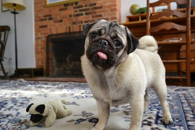 10 Most Popular Dog Breeds in the Philippines ~ Pug
