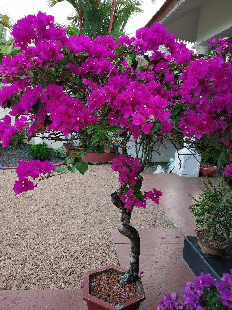 Twenty Five Years Old Bougainville With Flowers Flowering Bonsai Tree Bonsai Bloom